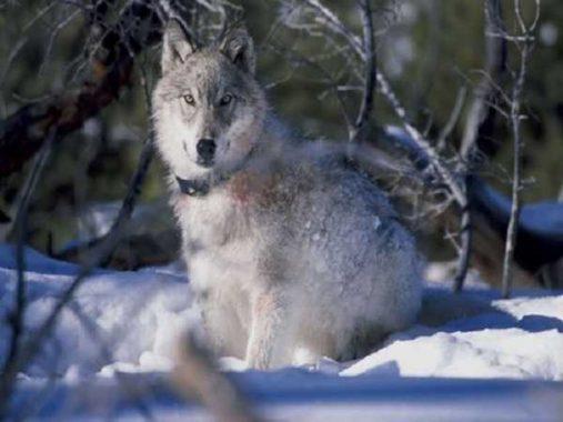 Mơ thấy chó sói đánh con đề gì – Giải mã giấc mơ