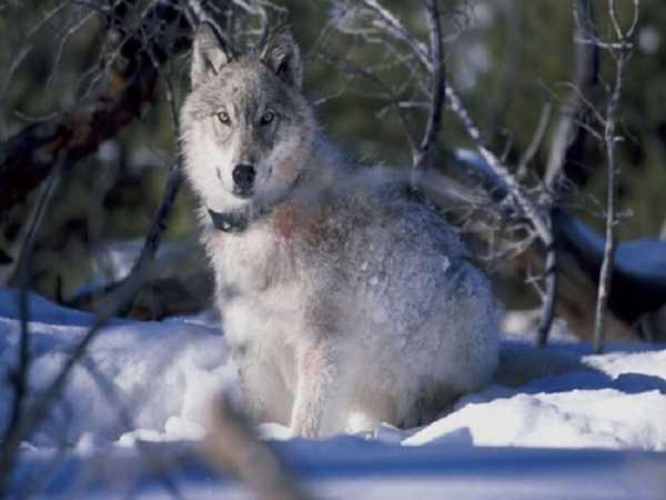 Mơ thấy chó sói đánh số gì