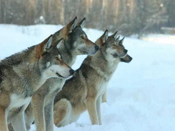 Điềm báo trong giấc mơ thấy chó sói