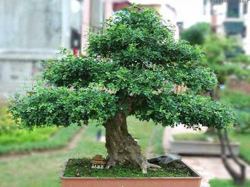 Ý nghĩa phong thủy của cây nguyệt quế
