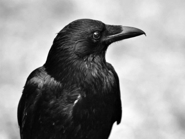 Nằm mơ thấy quạ chết đánh xổ số con gì may mắn